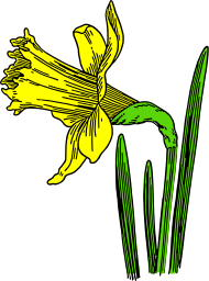 Daffodil Flower Image PNG Format