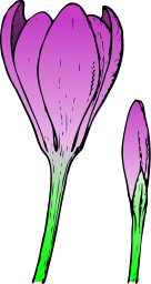 Crocus Flower Illustration PNG Format